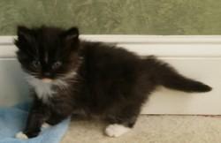 ragdoll kitten Spike