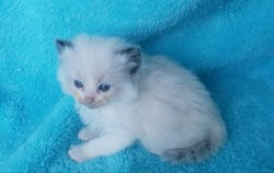 ragdoll kitten Cottontail