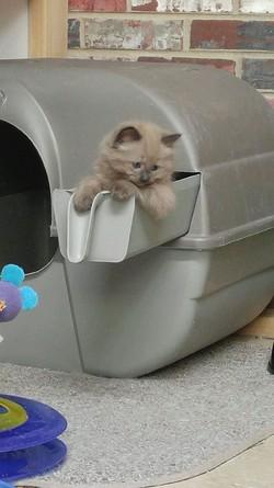 ragdoll kitten Twix