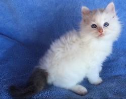 ragdoll kitten Skittles