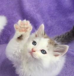 ragdoll kitten Milo