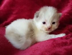 ragdoll kitten Jasper