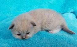 ragdoll kitten Asher