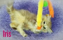 ragdoll kitten Iris