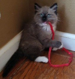 ragdoll kitten Baxter