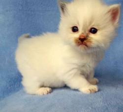 ragdoll kitten Bella