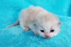 ragdoll kitten Blossom