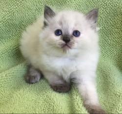 ragdoll kitten Camilla