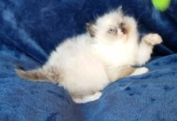ragdoll kitten Chloe
