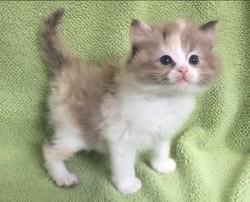 ragdoll kitten Daisy