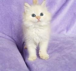 ragdoll kitten Elsa with Autumn