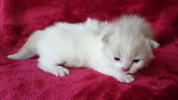 ragdoll kitten Leo