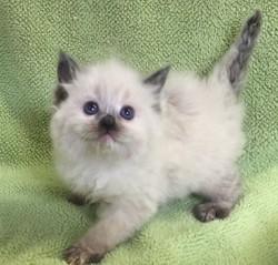 ragdoll kitten Lilly