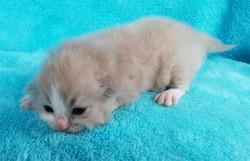ragdoll kitten Lucky