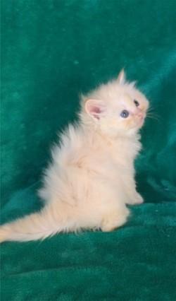 ragdoll kitten Princeton