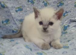 ragdoll kitten Sapphire