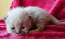 ragdoll kitten Sophie