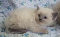 ragdoll kitten Toby