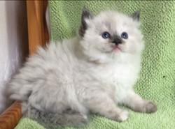 ragdoll kitten Violet